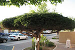 Artesia Tree